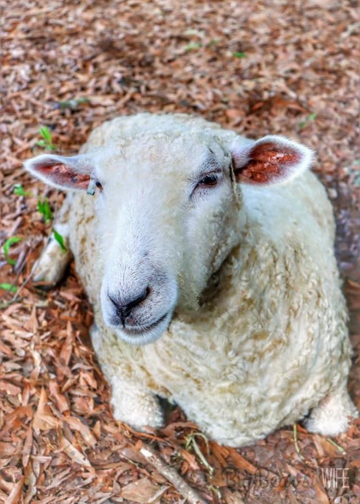 Sheep at Colonial Williamsburg